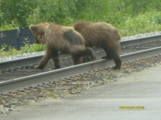 Denali Fireside Cabins & Suites: bear country