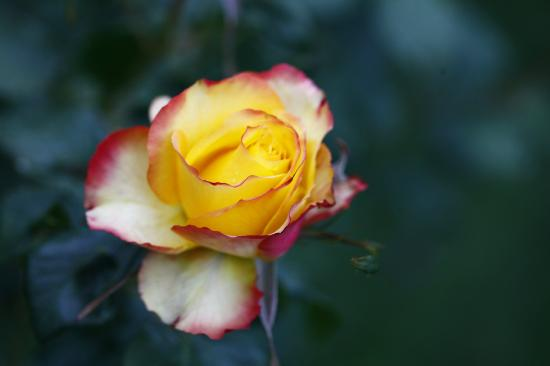 Stonehaven Homestay: Roses in the garden