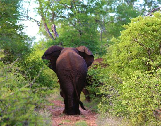 Garonga Safari Camp: Elephant casually strolling down our path