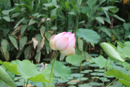Fleur de lotus picture of jardin d 39 eden saint gilles for Jardin d eden