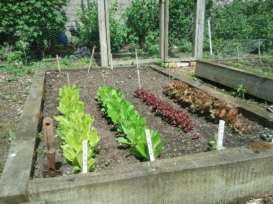 Magheralin, UK: Lettuce growing in veg garden