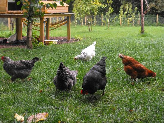 Magheralin, UK: Chickens in the orchard