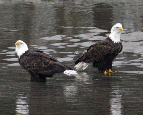 Brackendale, Kanada: Eagles