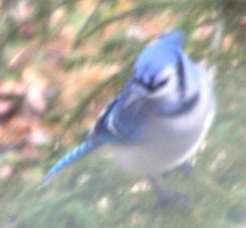 Huntington, VT: Bluejay outside of dining room picture window
