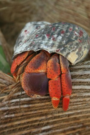 Cayes de Belice, Belice: Hermit Crab @ Goff&#39;s Cay