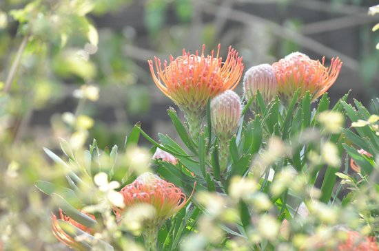 Anlin Beach House: proteas in the small private garden of the flatlet