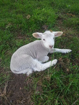 Lakeview Heights Farm Stay: cute lamb