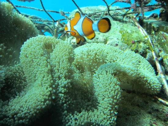 Clown fish picture of nago okinawa prefecture tripadvisor for Clown fish habitat