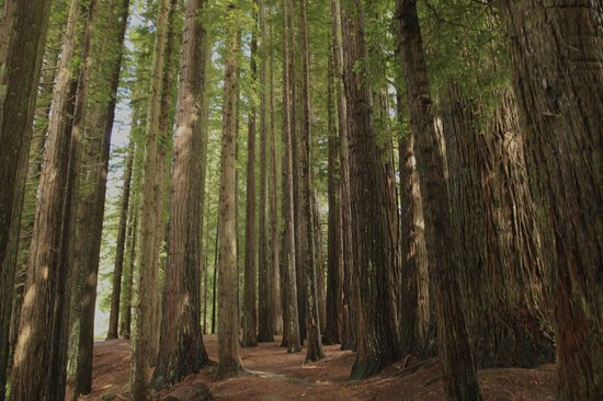 Hamurana, New Zealand: Redwoods