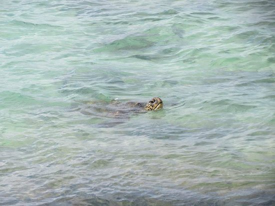 Kaleialoha Condominiums: One of many turtles we saw throughout the week