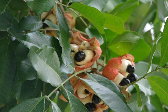 Hotel Four Seasons: Your breakfast--grown on the property and picked fresh:  Famous Jamaican Ackee
