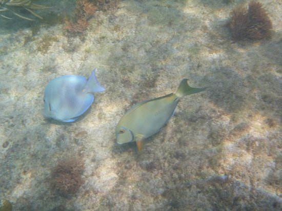 Cottages by the Sea: Blue Tang and Surgeon Fish while snorkeling
