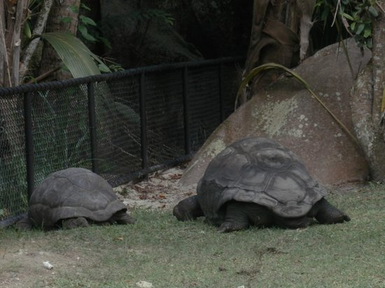 Kempinski Seychelles Resort: Tortoise at the resort