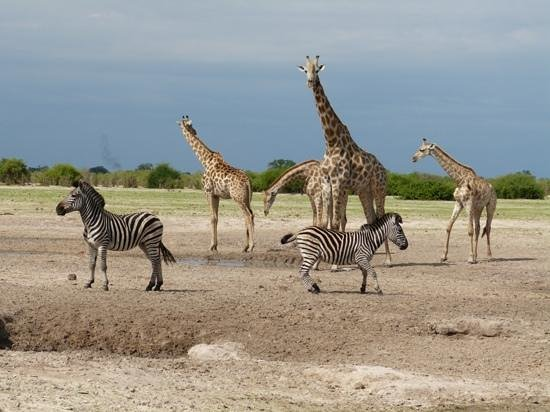 Savute Safari Lodge: anyone know the collective noun for four giraffes and two zebra?