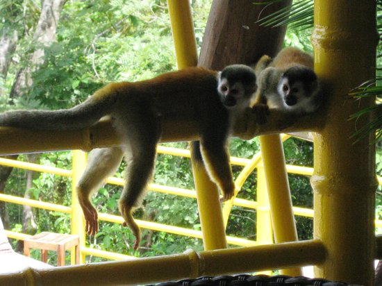 Issimo Suites Boutique Hotel and Spa: Monkeys by the pool