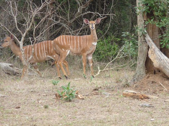 Bushwillow Lodge: Spotted in the clearing from our veranda