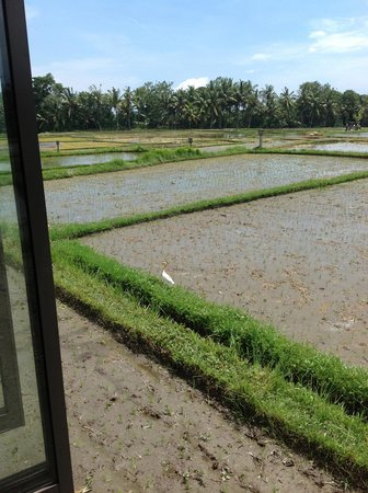 The Chedi Club Tanah Gajah a GHM Hotel: hotel rice fields