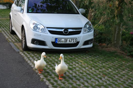 Nieuwveen, Belanda: The two resident ducks
