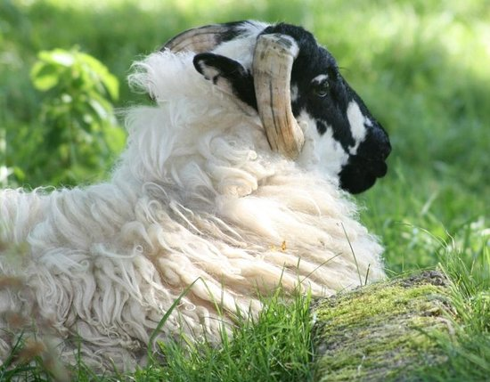 Loch Lein Country House: Sheep chilling out in field near hotel