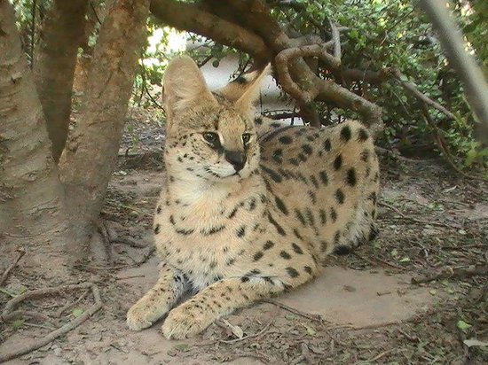 African Dawn Bird and Wildlife Sanctuary: One of the hunky Serval studs who fathers the litters