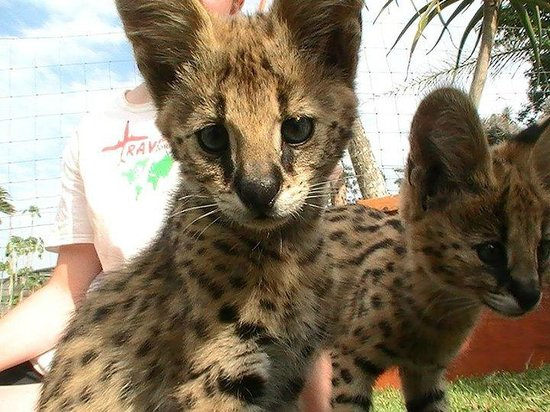 African Dawn Bird and Wildlife Sanctuary: I think this was Hurley - one of the Serval Kittens.