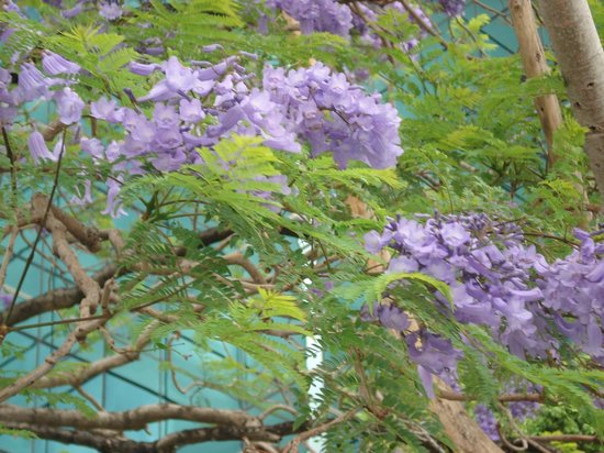 Mint Brisbane: Jacaranda trees in full bloom
