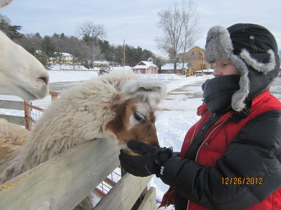 Mauston, WI: feeding the llamas