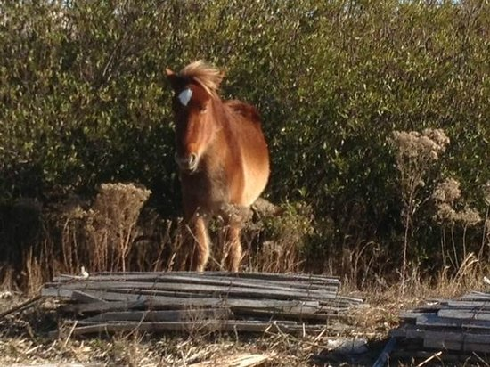 ‪‪Corolla‬, ‪North Carolina‬: Gorgeous horse. One of many we saw.‬