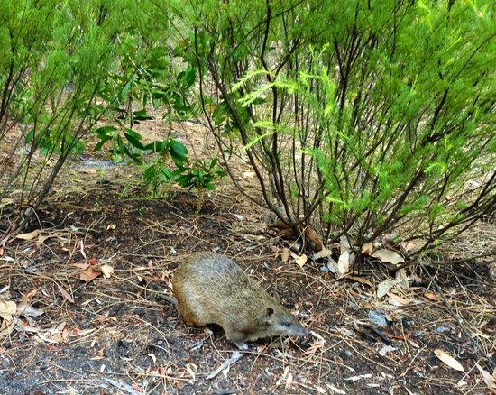 Forest Rise Eco Retreat: Cootie- resident Bandicoot