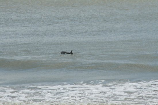 Lexington Inn & Suites: Dolphins played in the surf just a few feet off the shore!