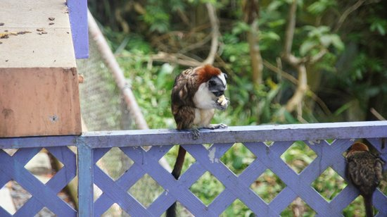 La Estancia: Goeffroy&#39;s Tamarin