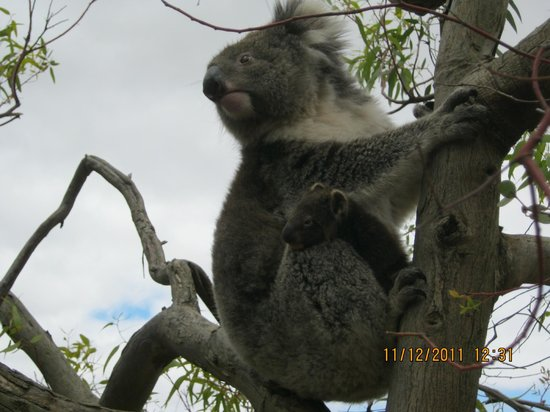 Lathami Lodge: Koala