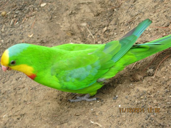Lathami Lodge: Gorgeous coloured bird found just outside the lodge