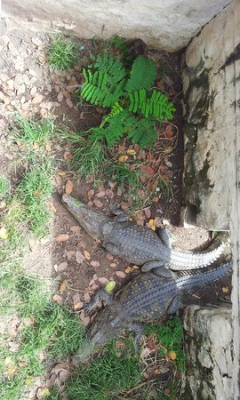 "Siem Reap Crocodile Farm: ""Where is the duck? Is it behind the bush?"""