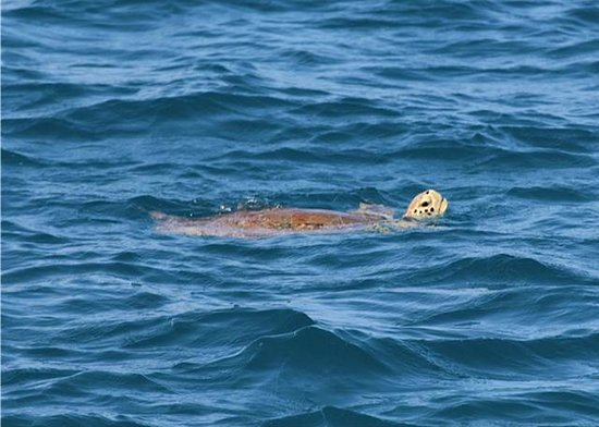 Cupecoy Bay, Sint Maarten: Sea Turtle in Tintamarre