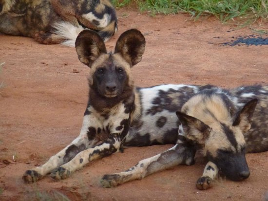 Madikwe River Lodge: Wild dogs