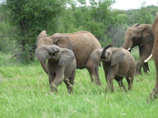 Madikwe River Lodge: Younf elephants