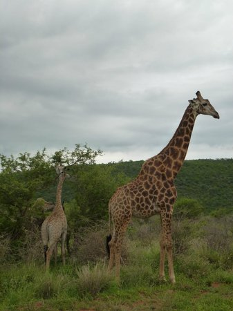 Madikwe River Lodge: Giraffes next to the road