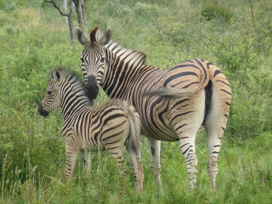 Madikwe River Lodge: Zebra