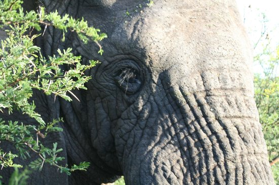 Schotia Safaris Private Game Reserve: This elephant came real close