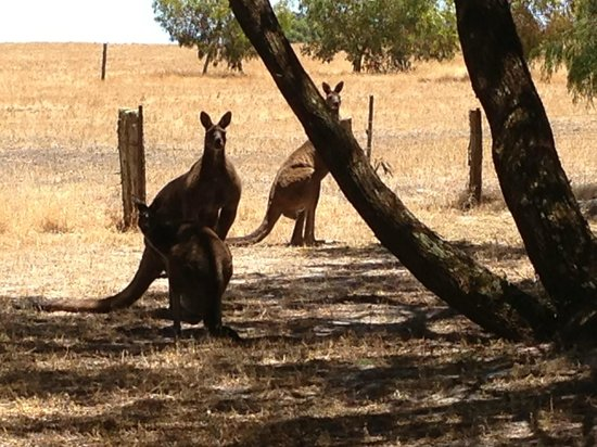 Forest Rise Eco Retreat: Kangaroos on the side of the road into Forest Rise