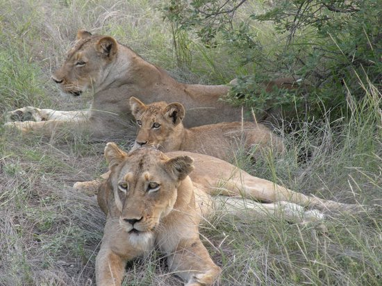 Toro Yaka Bush Lodge: 2 female lions with a 6 month old cub