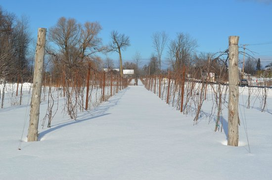 Shelburne, VT: Grapevines in the winter