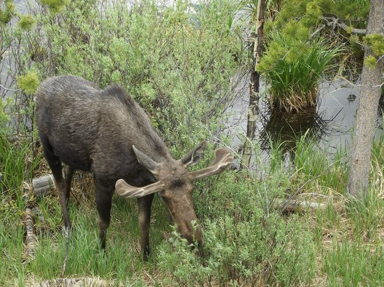 Moose Lake Lodge, LLC: Moose that was 20 yards from our deck