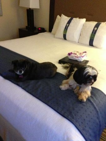 Holiday Inn Grand Haven - Spring Lake: pip and Marshall enjoying the king size bed