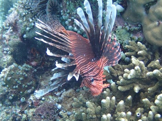 Bunaken Island Resort: Lionfish