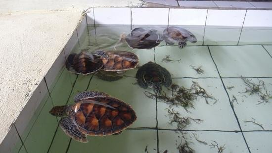 baby turtle tank - Picture of Turtle Island Tour, Tanjung Benoa ...