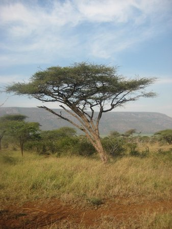 Lavumisa, Swaziland: A really neat tree