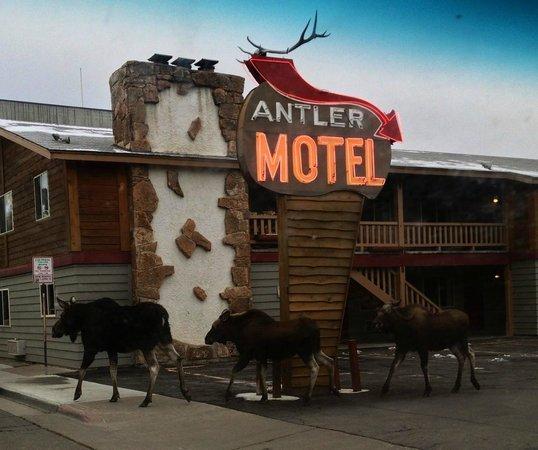 ‪‪Antler Inn‬: Moose Family at Antler Inn‬