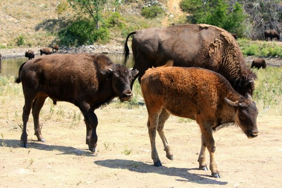 Custer State Park: Bison